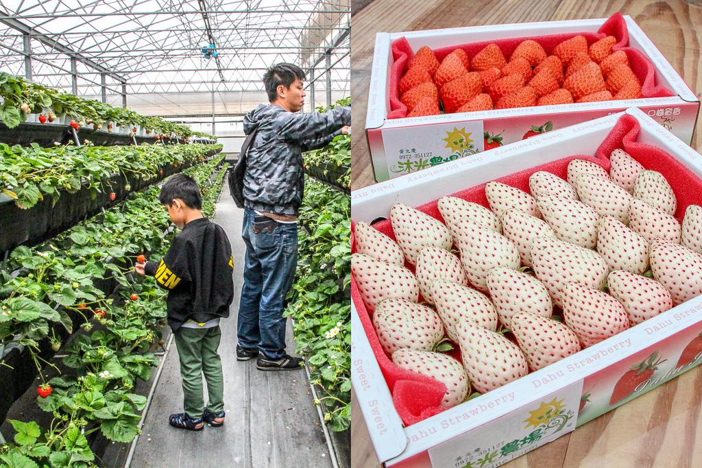 台中清水,沐光農場採草莓之旅~還有正夯的白草莓與多肉植物區…